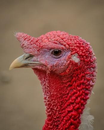 turkey-399304_1280